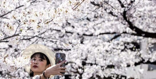 A Brief Guide to the Cherry Blossom Festival in Japan