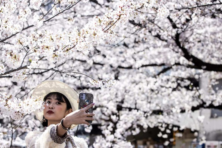 Cherry Blossom Festival in Japan